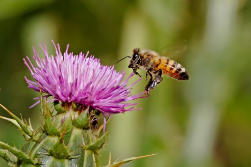 Honeybee_landing_on_milkthistle